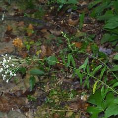Plant form: Euphorbia corollata. ~ By Steven Baskauf. ~ Copyright © 2018 CC-BY-NC-SA. ~  ~ Bioimages - www.cas.vanderbilt.edu/bioimages/frame.htm