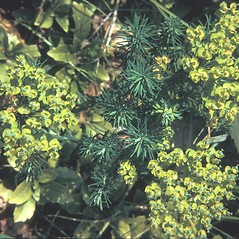Plant form: Euphorbia cyparissias. ~ By Adelaide Pratt. ~ Copyright © 2019 New England Wild Flower Society. ~ Image Request, images[at]newenglandwild.org