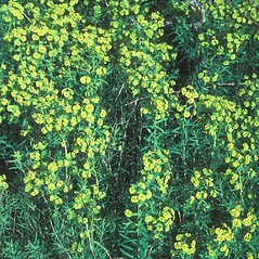 Plant form: Euphorbia esula. ~ By John Lynch. ~ Copyright © 2018 New England Wild Flower Society. ~ Image Request, images[at]newenglandwild.org