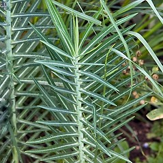 Leaves: Euphorbia lathyris. ~ By Paul S. Drobot. ~ Copyright © 2019 Paul S. Drobot. ~ www.plantstogrow.com, www.plantstockphotos.com ~ Robert W. Freckmann Herbarium, U. of Wisconsin-Stevens Point