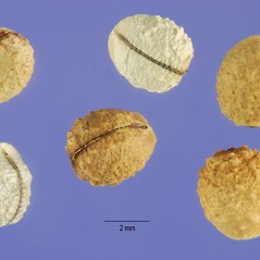 Fruits: Euphorbia marginata. ~ By Steve Hurst. ~  Public Domain. ~  ~ USDA-NRCS Plants Database - plants.usda.gov/java/