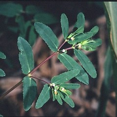 Leaves: Euphorbia nutans. ~ By Mark Renz. ~ Copyright © 2018 Mark Renz. ~ mrenz[at]wisc.edu ~ Robert W. Freckmann Herbarium, U. of Wisconsin-Stevens Point