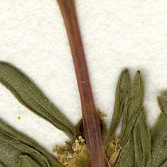 Stems: Euphorbia polygonifolia. ~ By CONN Herbarium. ~ Copyright © 2019 CONN Herbarium. ~ Requests for image use not currently accepted by copyright holder ~ U. of Connecticut Herbarium - bgbaseserver.eeb.uconn.edu/