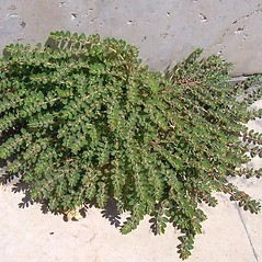Plant form: Euphorbia prostrata. ~ By Luigi Rignanese. ~ Copyright © 2018 Luigi Rignanese. ~ Requests for image use not currently accepted by copyright holder ~ CalPhotos - calphotos.berkeley.edu/flora/