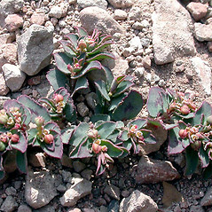 Plant form: Euphorbia serpyllifolia. ~ By Keir Morse. ~ Copyright © 2020 Keir Morse. ~ www.keiriosity.com ~ www.keiriosity.com