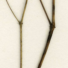 Stems: Euphorbia vermiculata. ~ By CONN Herbarium. ~ Copyright © 2018 CONN Herbarium. ~ Requests for image use not currently accepted by copyright holder ~ U. of Connecticut Herbarium - bgbaseserver.eeb.uconn.edu/