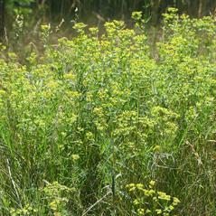 Plant form: Euphorbia virgata. ~ By Henry Brisse. ~ Copyright © 2017 Henry Brisse. ~ henry.brisse[at]univ-cezanne.fr ~ Universite Paul Cezanne