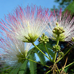 Flowers: Albizia julibrissin. ~ By David G. Smith. ~ Copyright © 2017. ~ dgsmith3[at]gmail.com ~ Delaware Wildflowers - delawarewildflowers.org/