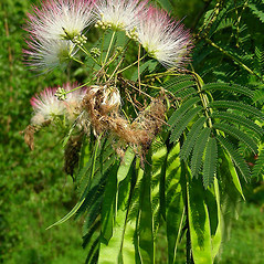 Fruits: Albizia julibrissin. ~ By David G. Smith. ~ Copyright © 2017. ~ dgsmith3[at]gmail.com ~ Delaware Wildflowers - delawarewildflowers.org/