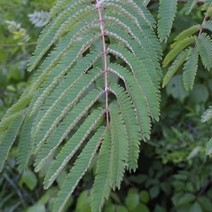 Leaves: Albizia julibrissin. ~ By Steven Baskauf. ~ Copyright © 2017 CC-BY-NC-SA. ~  ~ Bioimages - www.cas.vanderbilt.edu/bioimages/frame.htm