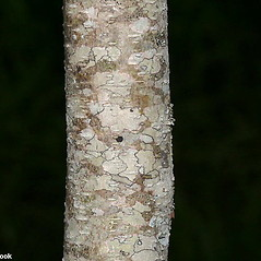 Bark: Amorpha fruticosa. ~ By Will Cook. ~ Copyright © 2017 Will Cook. ~ cwcook[at]duke.edu, carolinanature.com ~ North Carolina Plant Photos - www.carolinanature.com/plants/