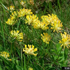 Flowers: Anthyllis vulneraria. ~ By William Ciesla. ~ Copyright © 2020 CC BY-NC 3.0. ~  ~ Bugwood - www.bugwood.org/