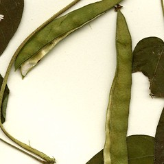 Fruits: Apios americana. ~ By CONN Herbarium. ~ Copyright © 2017 CONN Herbarium. ~ Requests for image use not currently accepted by copyright holder ~ U. of Connecticut Herbarium - bgbaseserver.eeb.uconn.edu/