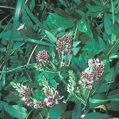 Plant form: Apios americana. ~ By John Lynch. ~ Copyright © 2018 New England Wild Flower Society. ~ Image Request, images[at]newenglandwild.org
