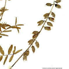 Fruits: Astragalus eucosmus. ~ By CONN Herbarium. ~ Copyright © 2019 CONN Herbarium. ~ Requests for image use not currently accepted by copyright holder ~ U. of Connecticut Herbarium - bgbaseserver.eeb.uconn.edu/