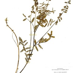Plant form: Astragalus eucosmus. ~ By CONN Herbarium. ~ Copyright © 2019 CONN Herbarium. ~ Requests for image use not currently accepted by copyright holder ~ U. of Connecticut Herbarium - bgbaseserver.eeb.uconn.edu/