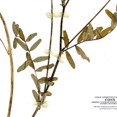 Leaves: Astragalus eucosmus. ~ By CONN Herbarium. ~ Copyright © 2019 CONN Herbarium. ~ Requests for image use not currently accepted by copyright holder ~ U. of Connecticut Herbarium - bgbaseserver.eeb.uconn.edu/