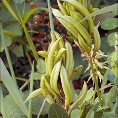 Fruits: Astragalus glycyphyllos. ~ By Amadej Trnkoczy. ~ Copyright © 2019 Amadej Trnkoczy. ~ amadej.trnkoczy[at]siol.net ~ CalPhotos - calphotos.berkeley.edu/flora/