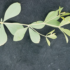 Leaves: Baptisia bracteata. ~ By T.F. Niehaus. ~ Copyright © 2017 Courtesy of the Smithsonian Institution . ~ For permission and usage agreements: http://botany.si.edu/PlantImages ~ Courtesy of Smithsonian Institution, National Museum of Natural History, Department of Botany, Plant Image Collection; botany.si.edu/PlantImages/