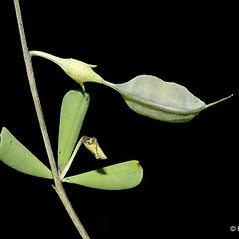 Fruits: Baptisia tinctoria. ~ By Keir Morse. ~ Copyright © 2018 Keir Morse. ~ www.keiriosity.com ~ www.keiriosity.com