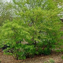 Plant form: Caragana arborescens. ~ By Paul S. Drobot. ~ Copyright © 2019 Paul S. Drobot. ~ www.plantstogrow.com, www.plantstockphotos.com ~ Robert W. Freckmann Herbarium, U. of Wisconsin-Stevens Point