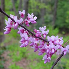 Flowers: Cercis canadensis. ~ By Arthur Haines. ~ Copyright © 2019. ~ arthurhaines[at]wildblue.net