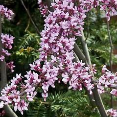 Flowers: Cercis canadensis. ~ By Paul S. Drobot. ~ Copyright © 2019 Paul S. Drobot. ~ www.plantstogrow.com, www.plantstockphotos.com ~ Robert W. Freckmann Herbarium, U. of Wisconsin-Stevens Point
