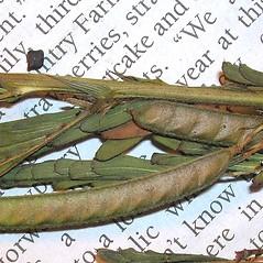 Fruits: Chamaecrista nictitans. ~ By Forest & Kim Starr. ~ Copyright © 2020 CC BY-NC 3.0. ~  ~ Bugwood - www.bugwood.org/