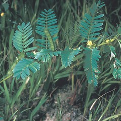 Plant form: Chamaecrista nictitans. ~ By Frank Bramley. ~ Copyright © 2019 New England Wild Flower Society. ~ Image Request, images[at]newenglandwild.org
