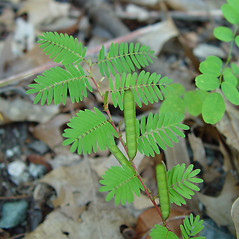 Leaves: Chamaecrista nictitans. ~ By Arthur Haines. ~ Copyright © 2020. ~ arthurhaines[at]wildblue.net