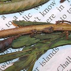 Stems: Chamaecrista nictitans. ~ By Forest & Kim Starr. ~ Copyright © 2020 CC BY-NC 3.0. ~  ~ Bugwood - www.bugwood.org/