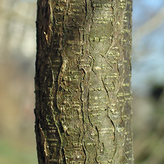 Bark: Colutea arborescens. ~ By Bruce Patterson. ~ Copyright © 2018 Bruce Patterson. ~ foxpatterson[at]comcast.net