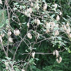 Fruits: Colutea arborescens. ~ By Robert Vid_ki. ~ Copyright © 2018 CC BY-NC 3.0. ~  ~ Bugwood - www.bugwood.org/