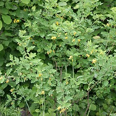 Plant form: Colutea arborescens. ~ By Robert Vid_ki. ~ Copyright © 2018 CC BY-NC 3.0. ~  ~ Bugwood - www.bugwood.org/