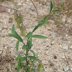 Leaves: Crotalaria sagittalis. ~ By Arieh Tal. ~ Copyright © 2017 Arieh Tal. ~ http://botphoto.com/ ~ Arieh Tal - botphoto.com