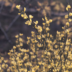Flowers: Cytisus scoparius. ~ By Catherine Heffron. ~ Copyright © 2017 New England Wild Flower Society. ~ Image Request, images[at]newenglandwild.org