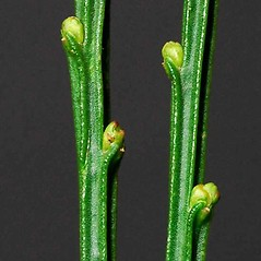 Winter buds: Cytisus scoparius. ~ By Ben Legler. ~ Copyright © 2017 Ben Legler. ~ mountainmarmot[at]hotmail.com ~ U. of Washington - WTU - Herbarium - biology.burke.washington.edu/herbarium/imagecollection.php
