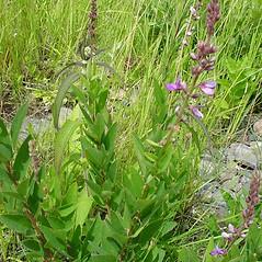 Plant form: Desmodium canadense. ~ By Glen Mittelhauser. ~ Copyright © 2017 Glen Mittelhauser. ~ www.mainenaturalhistory.org