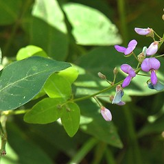 Flowers: Desmodium canescens. ~ By R_al Sarrazin. ~ Copyright © 2018 R_al Sarrazin. ~ http://www.fleurssauvages.ca ~ Canadian Wildflowers - www.fleurssauvages.ca/latin_index.html