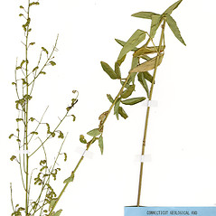 Plant form: Desmodium ciliare. ~ By CONN Herbarium. ~ Copyright © 2018 CONN Herbarium. ~ Requests for image use not currently accepted by copyright holder ~ U. of Connecticut Herbarium - bgbaseserver.eeb.uconn.edu/