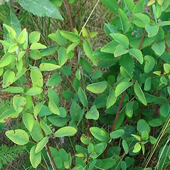 Plant form: Desmodium marilandicum. ~ By Alexey Zinovjev. ~ Copyright © 2018. ~ webmaster[at]salicicola.com ~ Salicicola - www.salicicola.com/