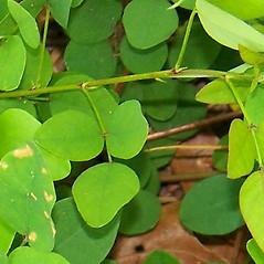 Leaves: Desmodium marilandicum. ~ By Alexey Zinovjev. ~ Copyright © 2018. ~ webmaster[at]salicicola.com ~ Salicicola - www.salicicola.com/
