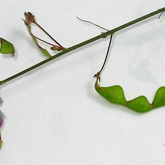 Fruits: Desmodium perplexum. ~ By Alexey Zinovjev. ~ Copyright © 2019. ~ webmaster[at]salicicola.com ~ Salicicola - www.salicicola.com/