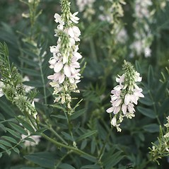 Flowers: Galega officinalis. ~ By USDA APHIS PPQ. ~ Copyright © 2017 CC BY-NC 3.0. ~  ~ Bugwood - www.bugwood.org/