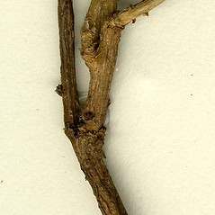 Bark: Genista tinctoria. ~ By CONN Herbarium. ~ Copyright © 2019 CONN Herbarium. ~ Requests for image use not currently accepted by copyright holder ~ U. of Connecticut Herbarium - bgbaseserver.eeb.uconn.edu/