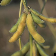 Fruits: Glycine max. ~ By Howard Schwartz. ~ Copyright © 2018 CC BY-NC 3.0. ~  ~ Bugwood - www.bugwood.org/