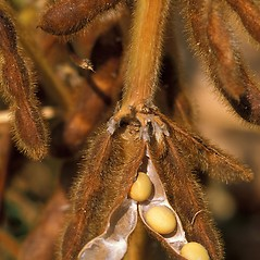 Fruits: Glycine max. ~ By Scott Bauer. ~ Copyright © 2018 CC BY 3.0. ~  ~ Bugwood - www.bugwood.org/