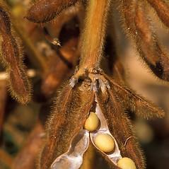 Fruits: Glycine max. ~ By Scott Bauer. ~ Copyright © 2017 CC BY 3.0. ~  ~ Bugwood - www.bugwood.org/