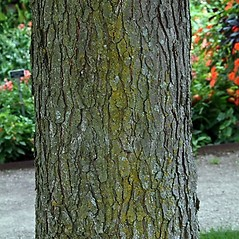 Bark: Gymnocladus dioicus. ~ By Paul S. Drobot. ~ Copyright © 2018 Paul S. Drobot. ~ www.plantstogrow.com, www.plantstockphotos.com ~ Robert W. Freckmann Herbarium, U. of Wisconsin-Stevens Point