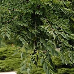 Leaves: Gymnocladus dioicus. ~ By Paul S. Drobot. ~ Copyright © 2019 Paul S. Drobot. ~ www.plantstogrow.com, www.plantstockphotos.com ~ Robert W. Freckmann Herbarium, U. of Wisconsin-Stevens Point
